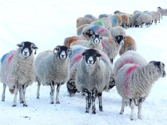 Christmas Day sheep