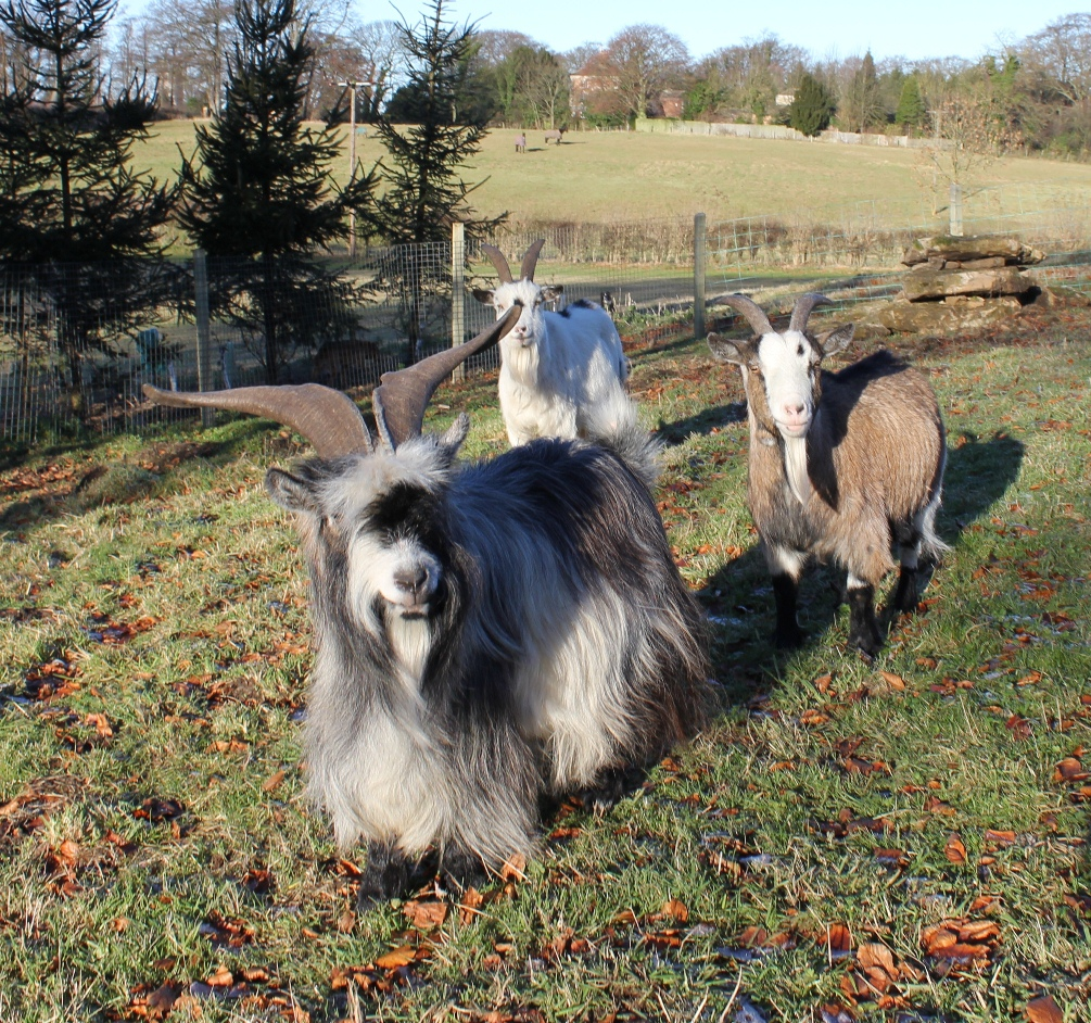 Our Pygmy Goats