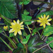 Painting / Biss Meadows: Lesser Celandine